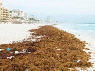 Seaweed Season Will Arrive in Cancun Within 2 Weeks