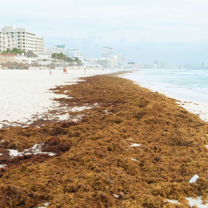 Seaweed Season Will Arrive in Cancun Within 2 Weeks